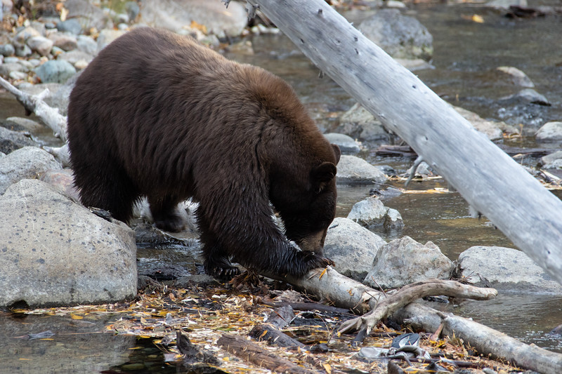 Big Brown Mother Bear Eating Dead Salmon