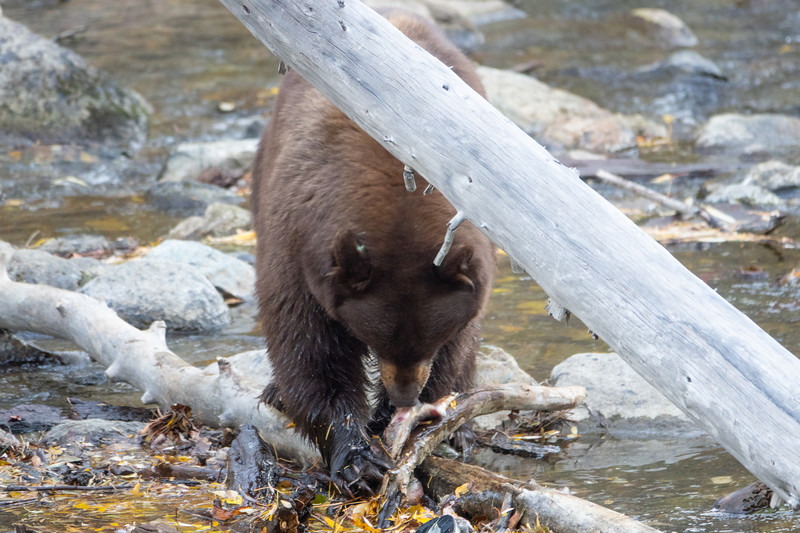 Big Brown Mother Bear Foraging For Salmon in Taylor Creek