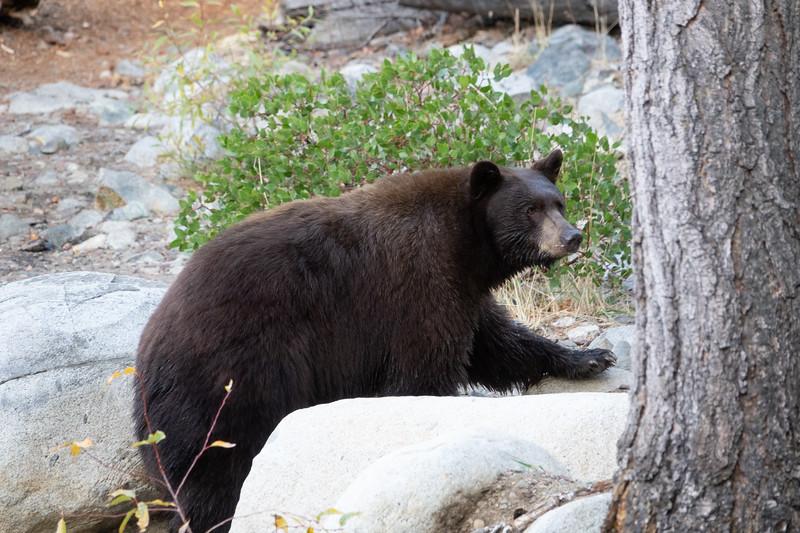 Mother Brown Bear Walking