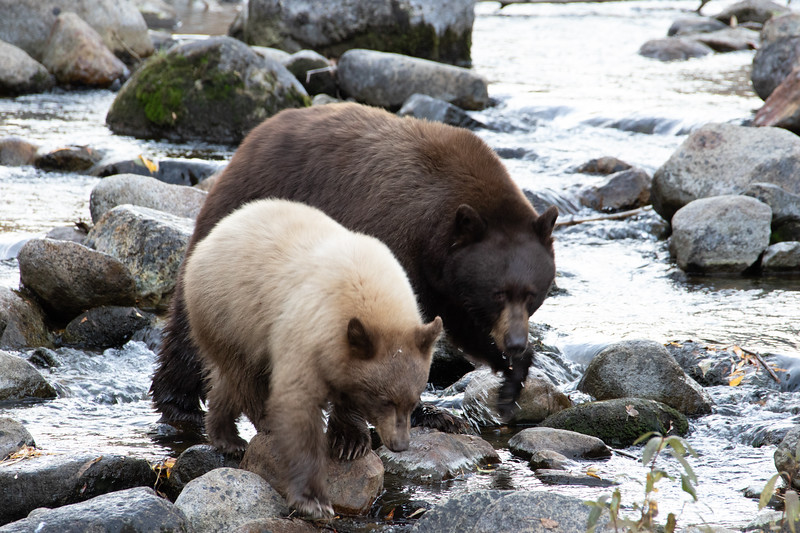 Brown Sow and Cinnamon Cub