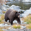 Big Brown Mother Bear Walking