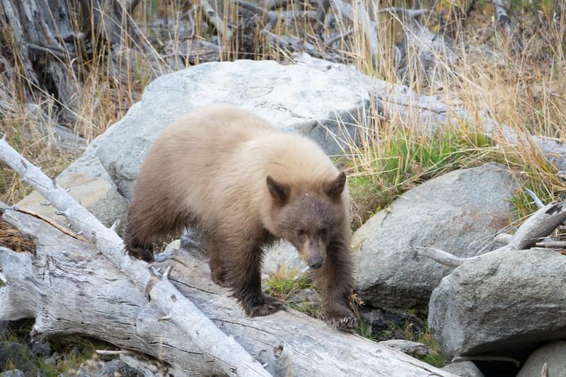 Cinnamon Colored Bear Cub