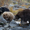 Mother Bear with Cinnamon and Black Bear Cubs