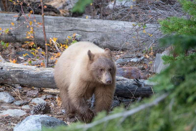 Cinnamon Colored Bear Cub Waling in Forest