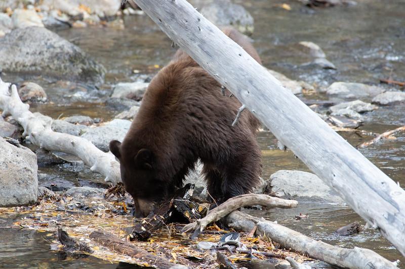 Big Brown Mother Bear
