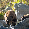 Tahoe Mother Bear and Cub Bear Fishing