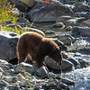 Tahoe Mother Bear Fishing