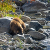 Tahoe Bear Cub Fishing