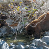 Tahoe Mother Bear and Cub Bear Fishing