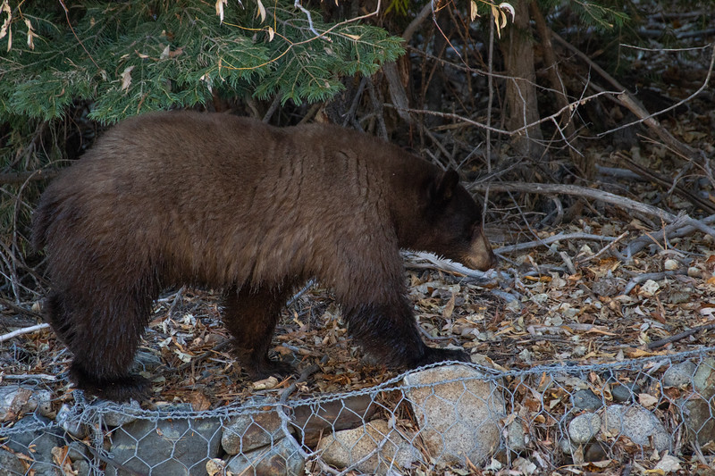 Lone Brown Bear Walking Along Taylor Creek