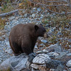 Lone Brown Bear Walking Along Taylor Creek