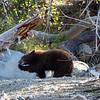 Tahoe Bear Cub