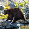 Tahoe Mother Bear Fishing
