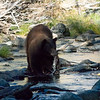 Tahoe Mother Bear Catching Kokanee Salmon at Taylor Creek