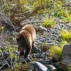 Tahoe Bear Cub Fishing