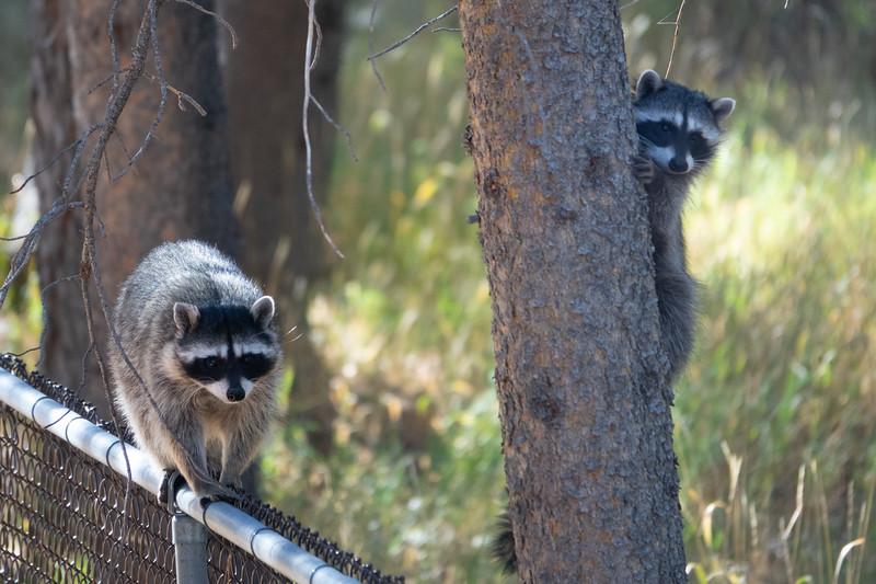 Backyard Racoons