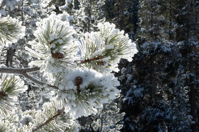 Snow Encrusted Pine Needles