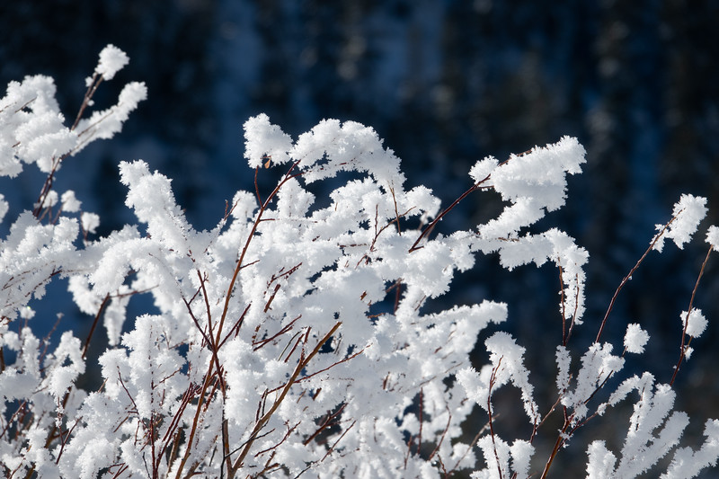 Hoar Frost on Red Branches