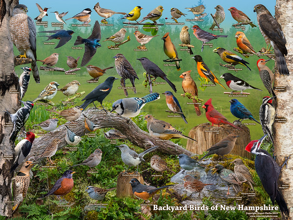 Backyard Birds of New Hampshire ID Poster