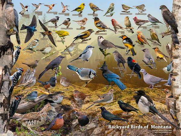 Backyard Birds of Montana