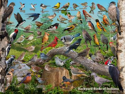 Backyard Birds of Indiana ID Poster