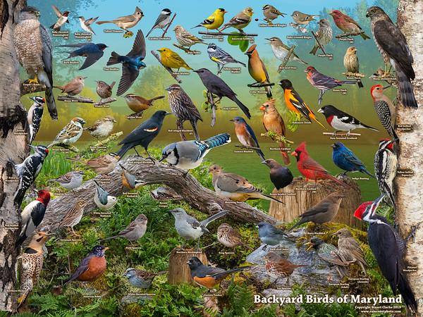 Backyard Birds of Maryland ID Poster
