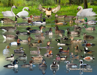 Waterfowl of the West