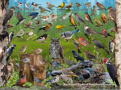 Backyard Birds of Northern Ontario ID Poster