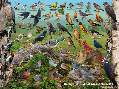 Backyard Birds of Massachusetts ID Poster