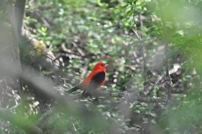 Backyard Birds, Songbirds, Wild Birds, Pheasants, Colorful birds