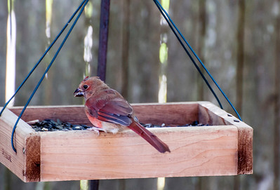 Purple Finch In Feeder
