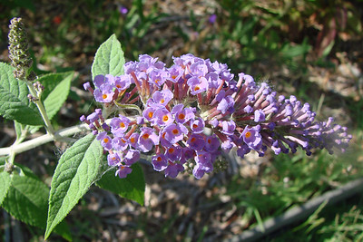 Buddleia davidii / Nanho Blue Butterfly Bush (semi-evergreen shrub) 6/12/07