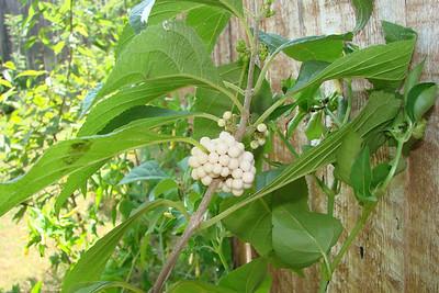 Callicarpa americana / American Beautyberry, white form (deciduous shrub, Texas native) 8/28/07