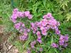 Aster novae-angliae / New England Aster (perennial) 5/23/07
