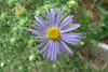 Aster oblongifolius / Fall Aster (perennial, Texas native) 10/6/07