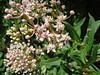 Asclepias incarnata / Swamp Milkweed (perennial, Texas native) 6/21/08