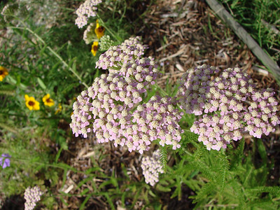 Achillea millefolium / Milfoil (perennial) 5/12/07
