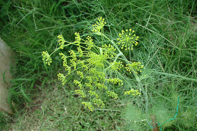 Anethum graveolens / Dill (annual) 6/21/07