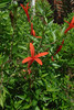 Anisacanthus quadrifidus var. wrightii / Flame Acanthus (deciduous shrub, Texas native) 9/13/07