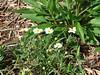 Melampodium leucanthum / Blackfoot Daisy (perennial, Texas native) 5/3/07