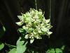 Asclepias viridis / Green Milkweed (perennial, Texas native) 7-12-08