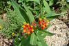 Asclepias curassavica / Tropical Milkweed (perennial) 6/17/07