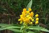 Asclepias tuberosa / Butterfly Weed (perennial, Texas native) 9/11/07