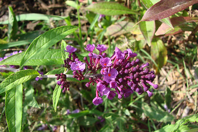 Buddleia davidii / Purple Butterfly Bush (semi-evergreen shrub) 7/21/07