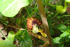 Aristolochia fimbriata / White-veined Dutchman's Pipevine (perennial vine) 7/12/07
