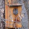 Eastern Screech Owl, gray phase