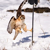 The hawk had no choice but to let go and fly away.