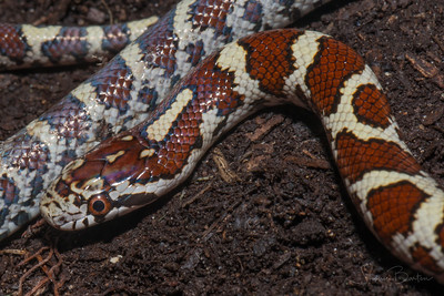 Eastern Milksnake neonate, a block from my house.