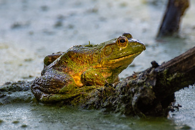 Bullfrog, Rana (Lithobates) catesbeiana (catesbeianus)