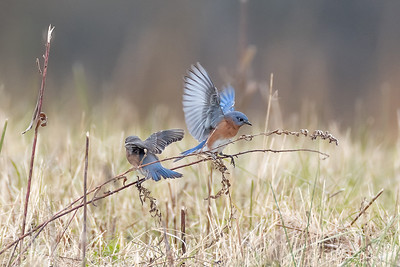 Eastern Bluebirds, part of a large migration at Galloping Hill.